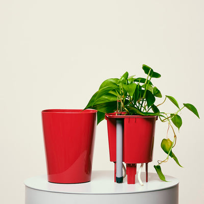 Philodendron Cordatum Deltini Red