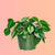 "Philodendron Cordatum In 6"" Nursery Pot 