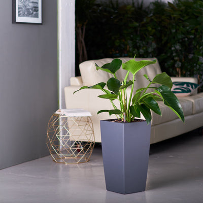 Philodendron Green Congo plant potted in Lechuza Cubico slate planter - My City Plants