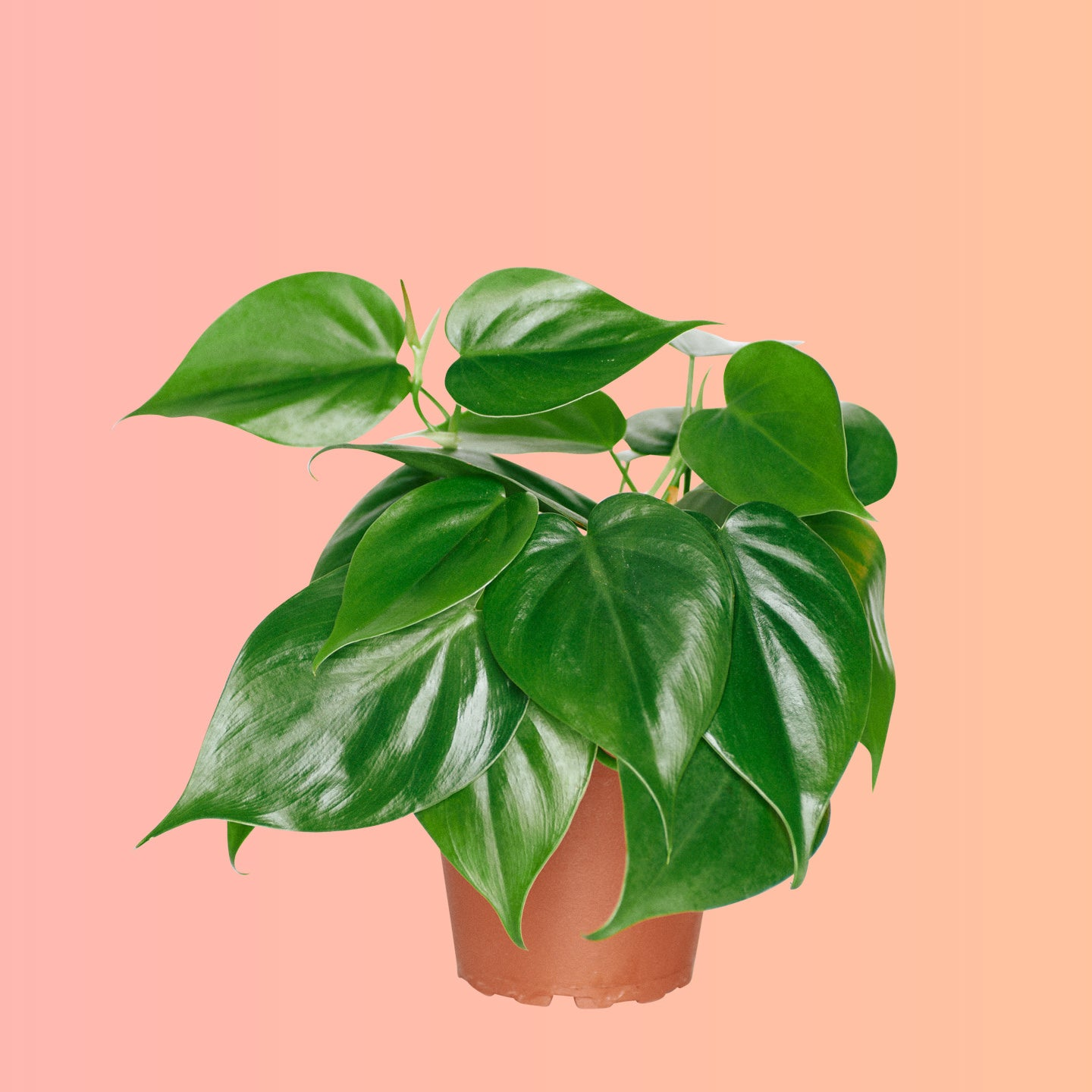 "Philodendron Cordatum In 4"" Nursery Pot 