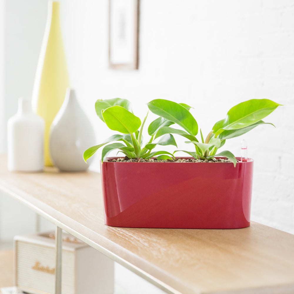 Philodendron Moonlight Potted In Lechuza Windowsill Mini Red Planter - Shop Online - My City Plants