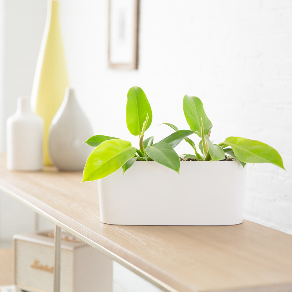 Philodendron Moonlight Potted In Lechuza Windowsill Mini White Planter - Shop Online - My City Plants