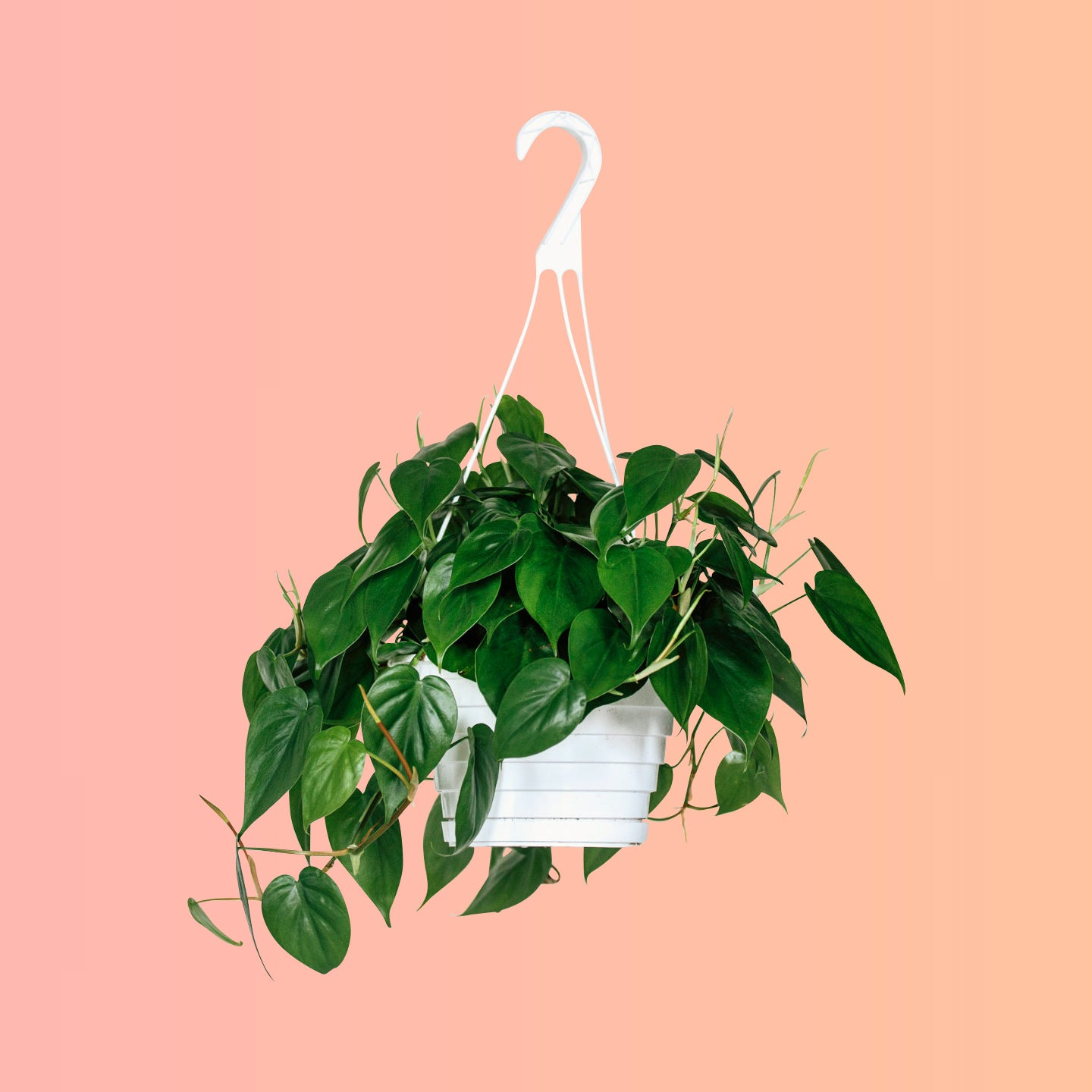 "Philodendron Cordatum 8"" Nursery Hanging Basket"