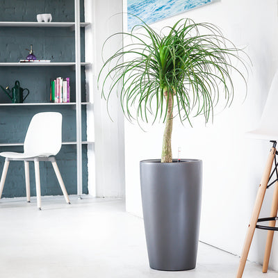 Ponytail Palm potted in charcoal metallic Rondo planter