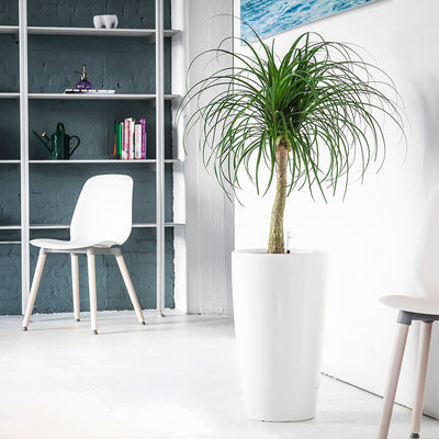 Ponytail Palm potted in white Rondo planter