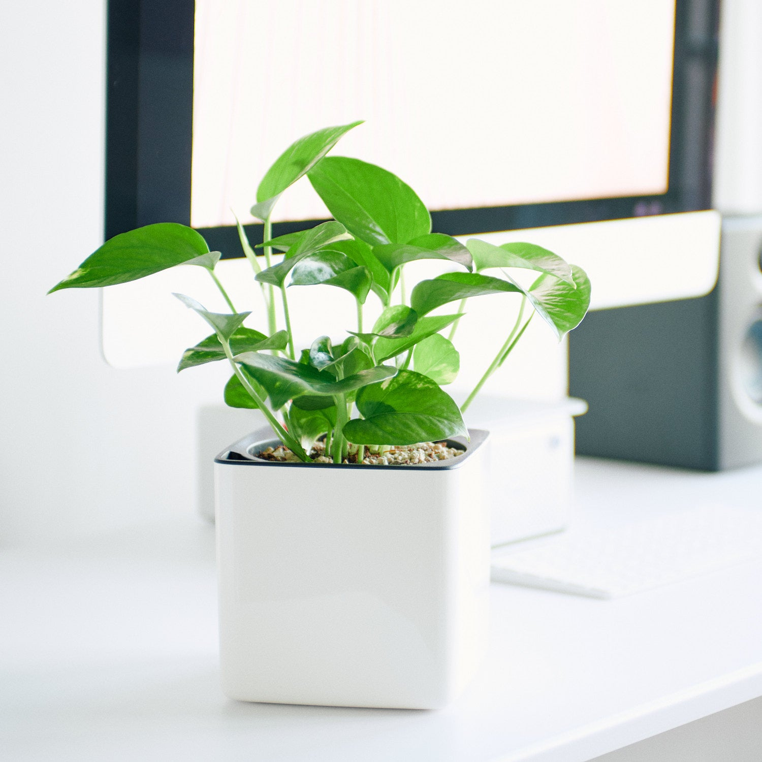 Pothos In Lechuza Cube 14 Glossy White Planter | My City Plants