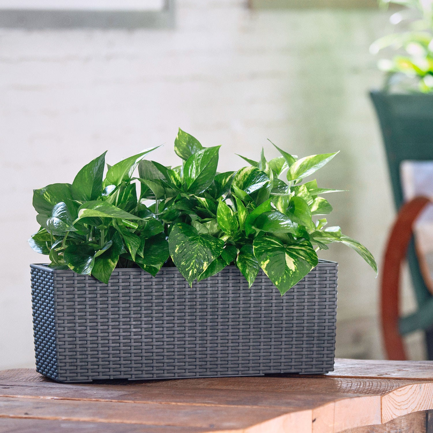 Pothos plant potted in Lechuza Balconera Cottage granite planter - My City Plants