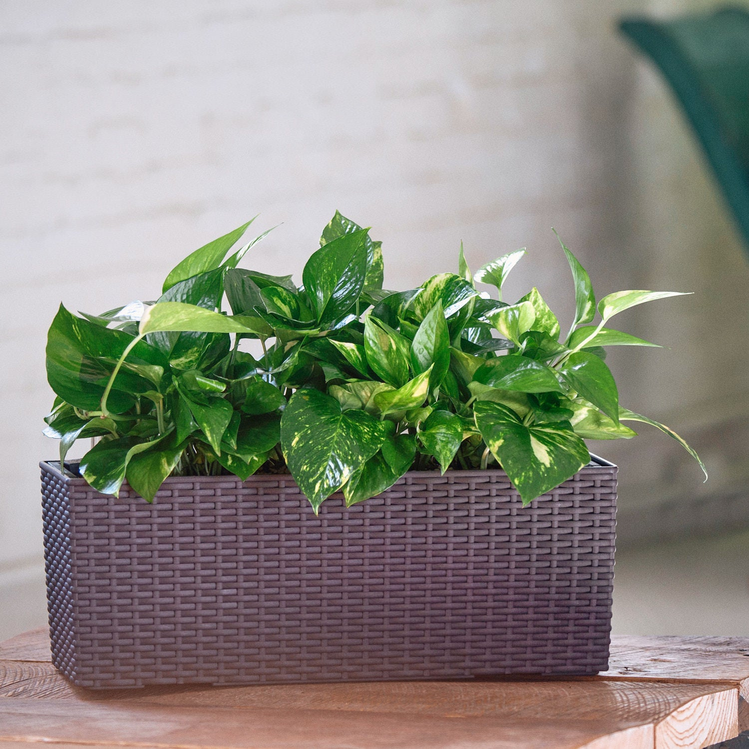 Pothos plant potted in Lechuza Balconera Cottage mocha planter - My City Plants