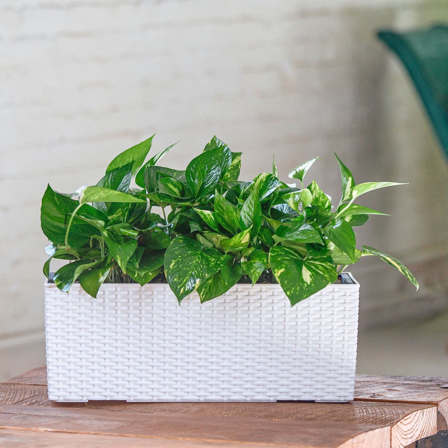 Pothos plant potted in Lechuza Balconera Cottage white planter - My City Plants