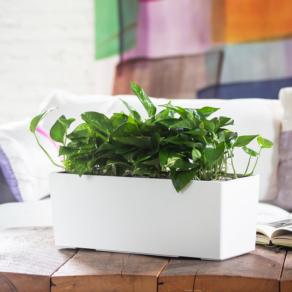 Pothos plant potted in Lechuza Balconera white self-watering planter - My City Plants
