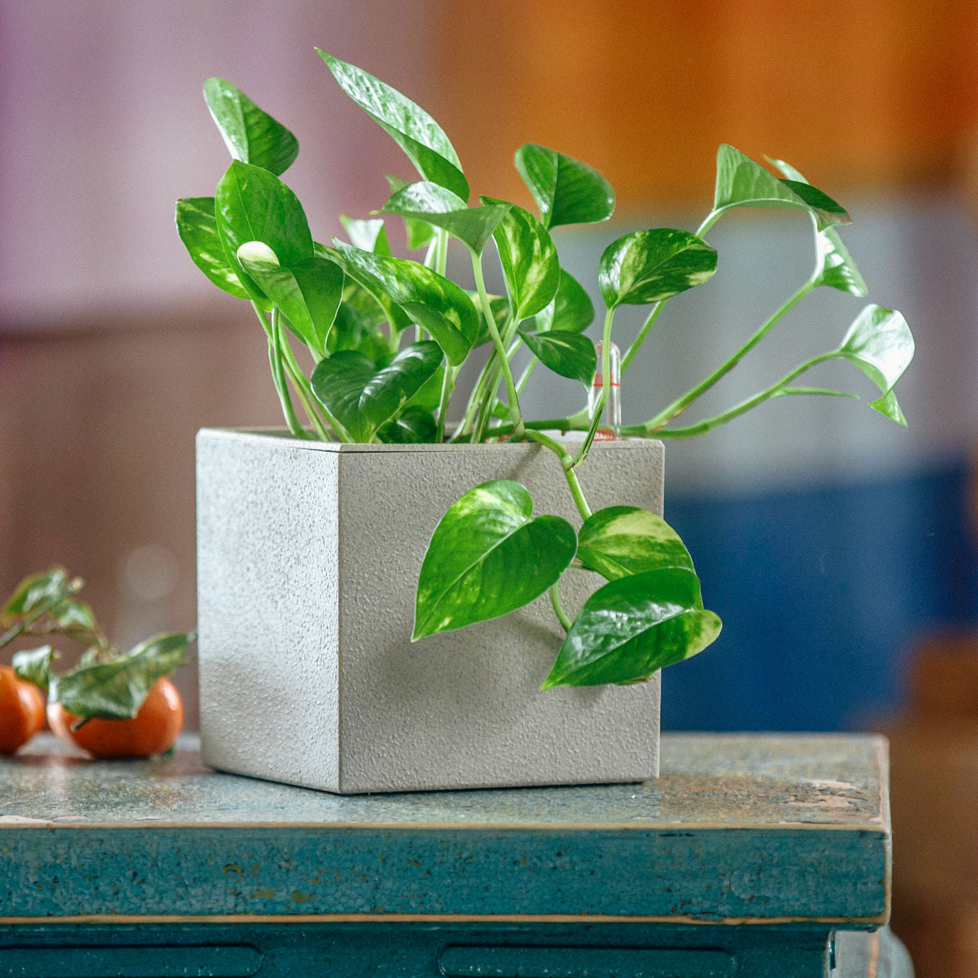 Pothos Plant In Lechuza Canto 14 Beige Planter | My City Plants