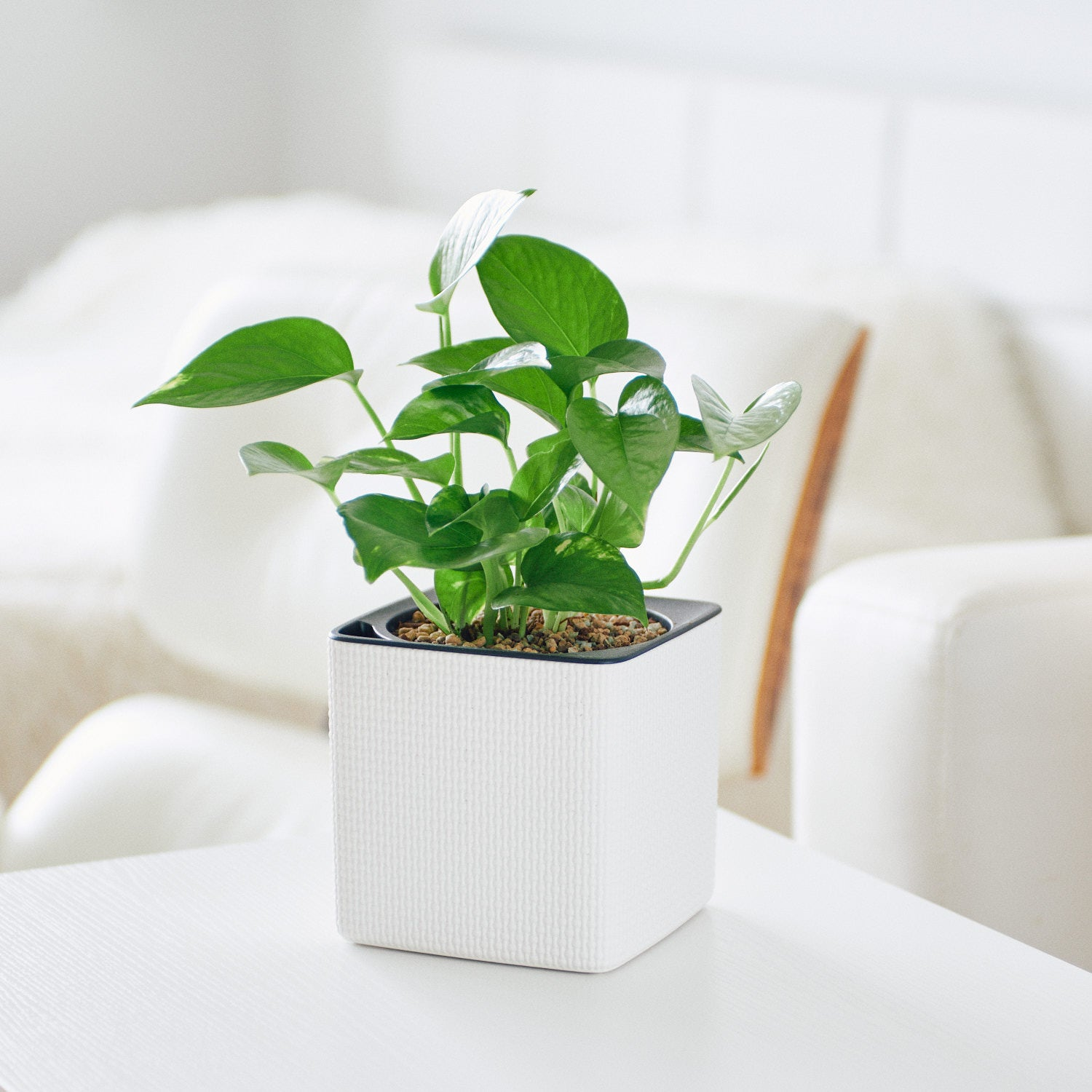 Pothos Plant In Lechuza Cube 14 White Planter | My City Plants