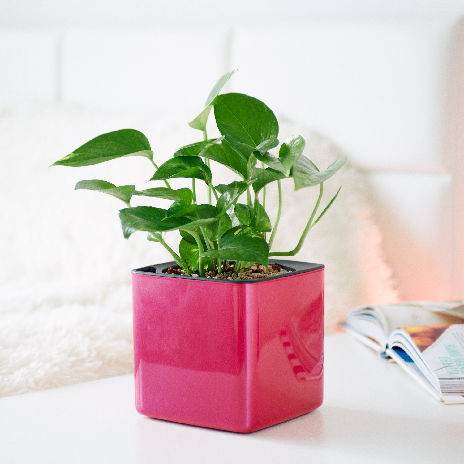 Pothos In Lechuza Cube 14 Glossy Cherry Pie Planter | My City Plants