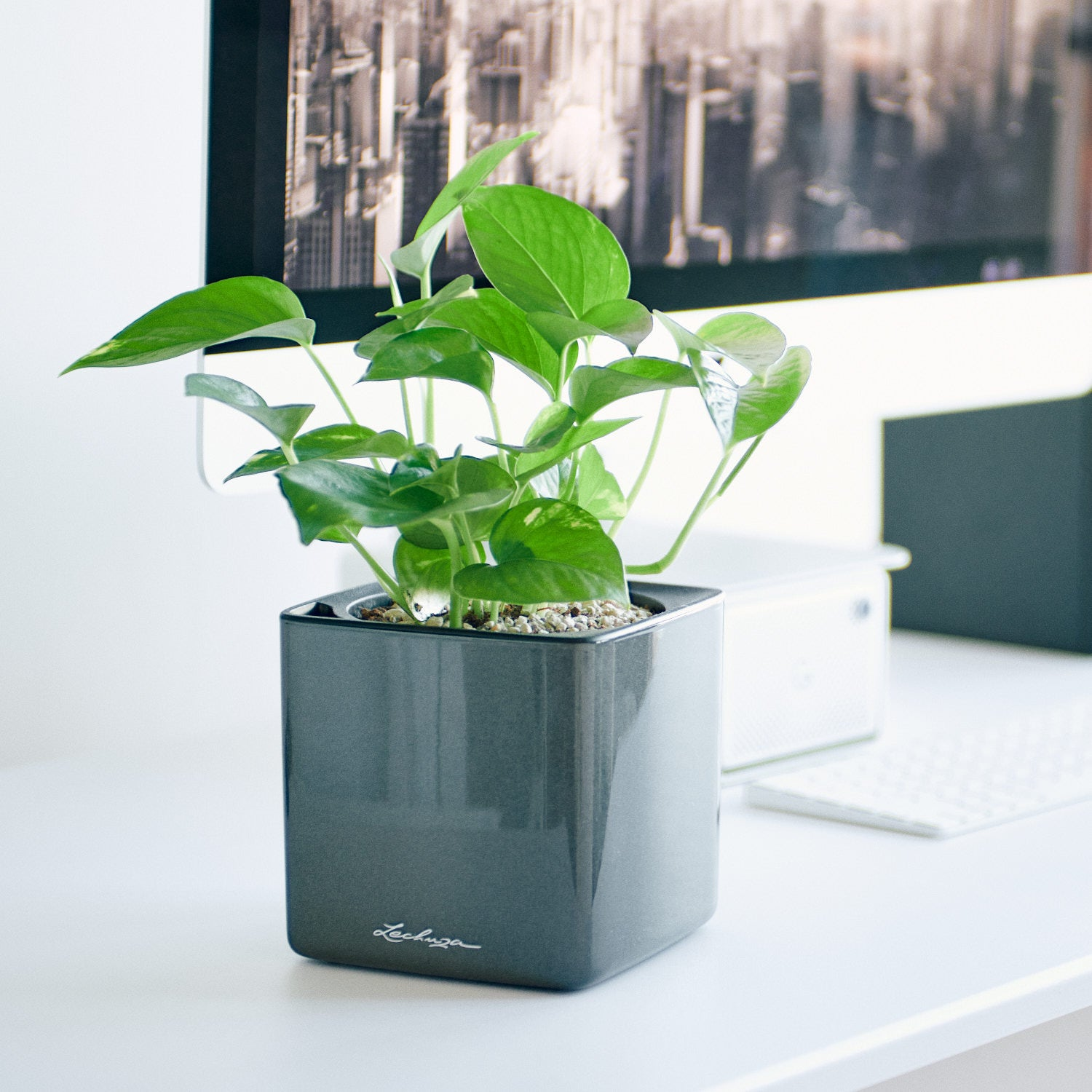 Pothos In Lechuza Cube 14 Glossy Charcoal Planter | My City Plants