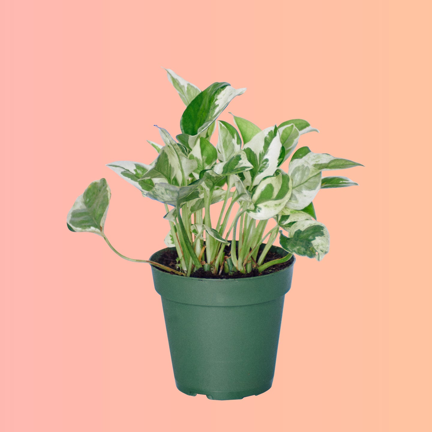 "Pothos Glacier In 4"" Nursery Pot 