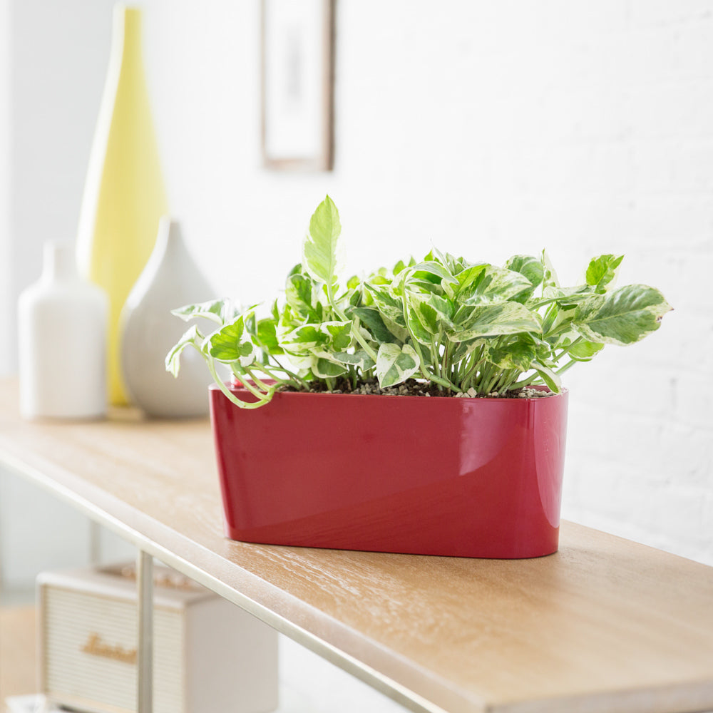 Pothos Glacier Plant Potted In Lechuza Windowsill Mini Red Planter - Shop Online - My City Plants