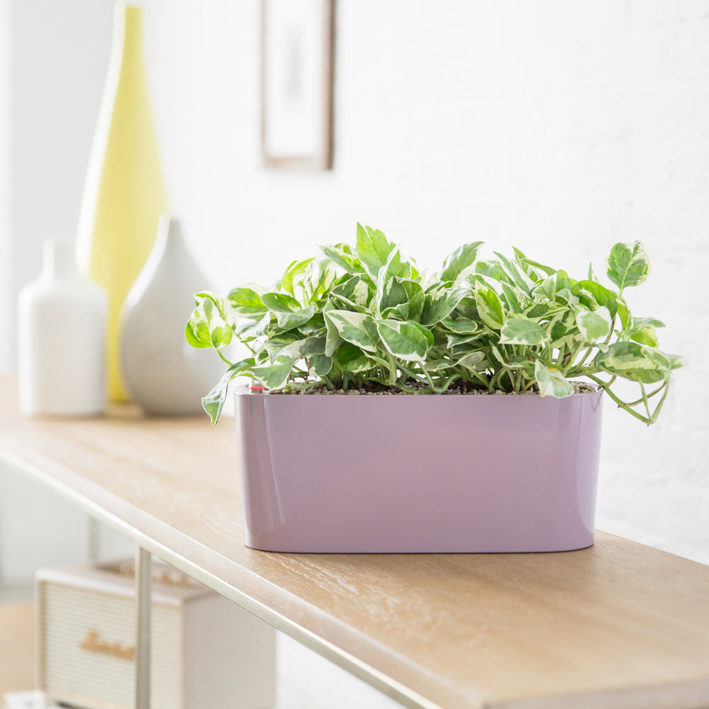 Pothos Glacier Plant Potted In Lechuza Windowsill Mini Violet Planter - Shop Online - My City Plants