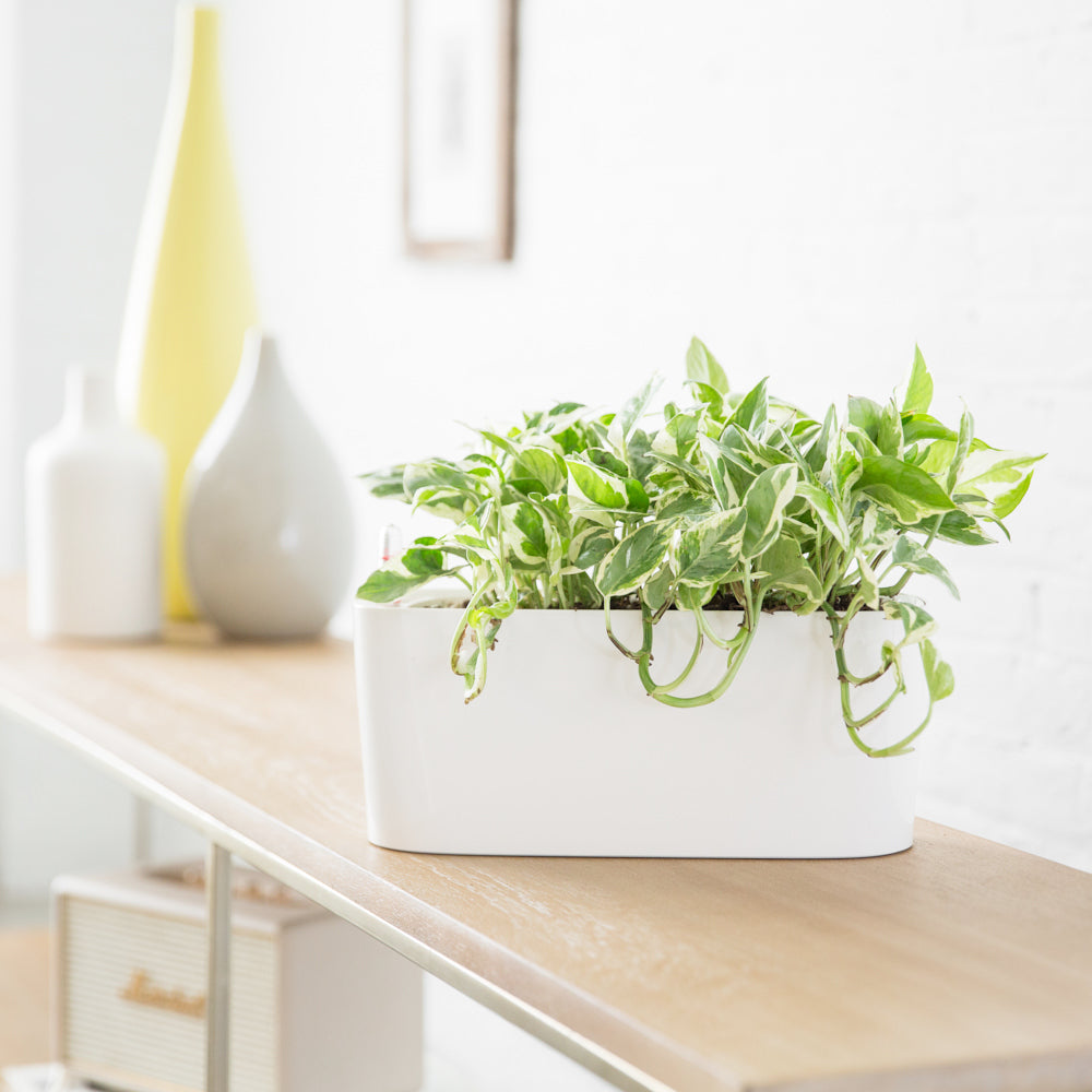 Pothos Glacier Plant Potted In Lechuza Windowsill Mini White Planter - Shop Online - My City Plants