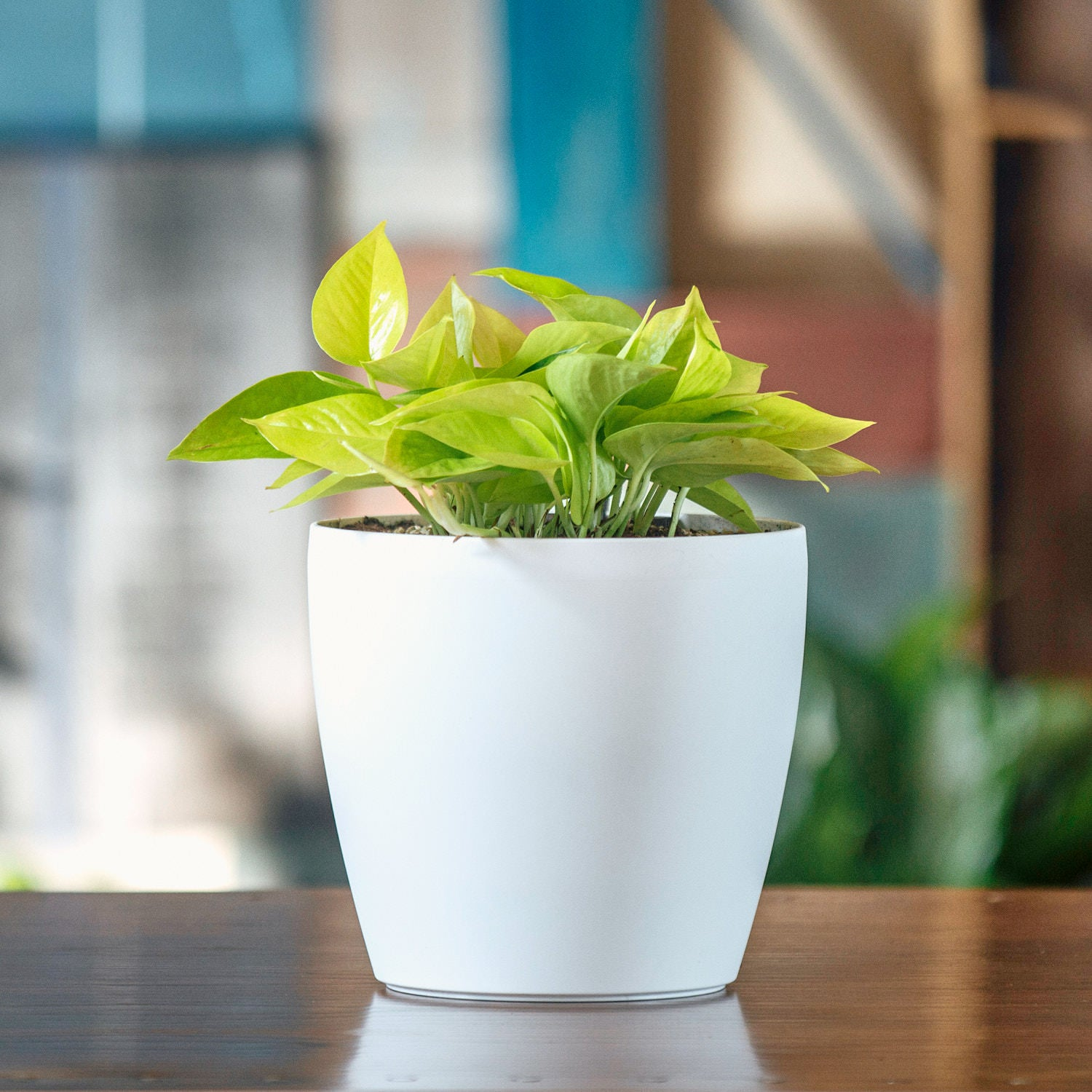 Pothos Neon In Classico Mini Trend White Planter | My City Plants