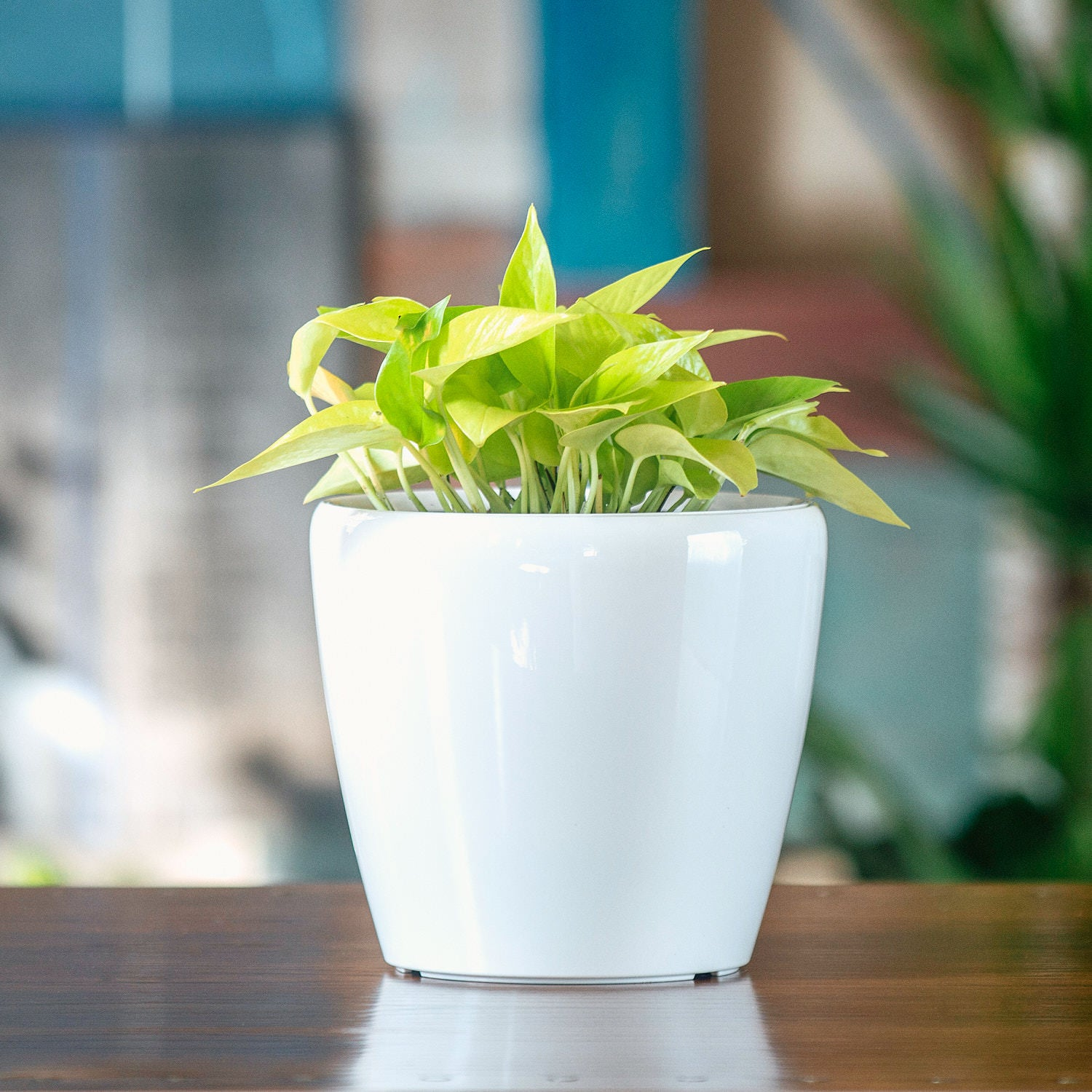 Pothos Neon In Lechuza Classico Mini White Planter | My City Plants