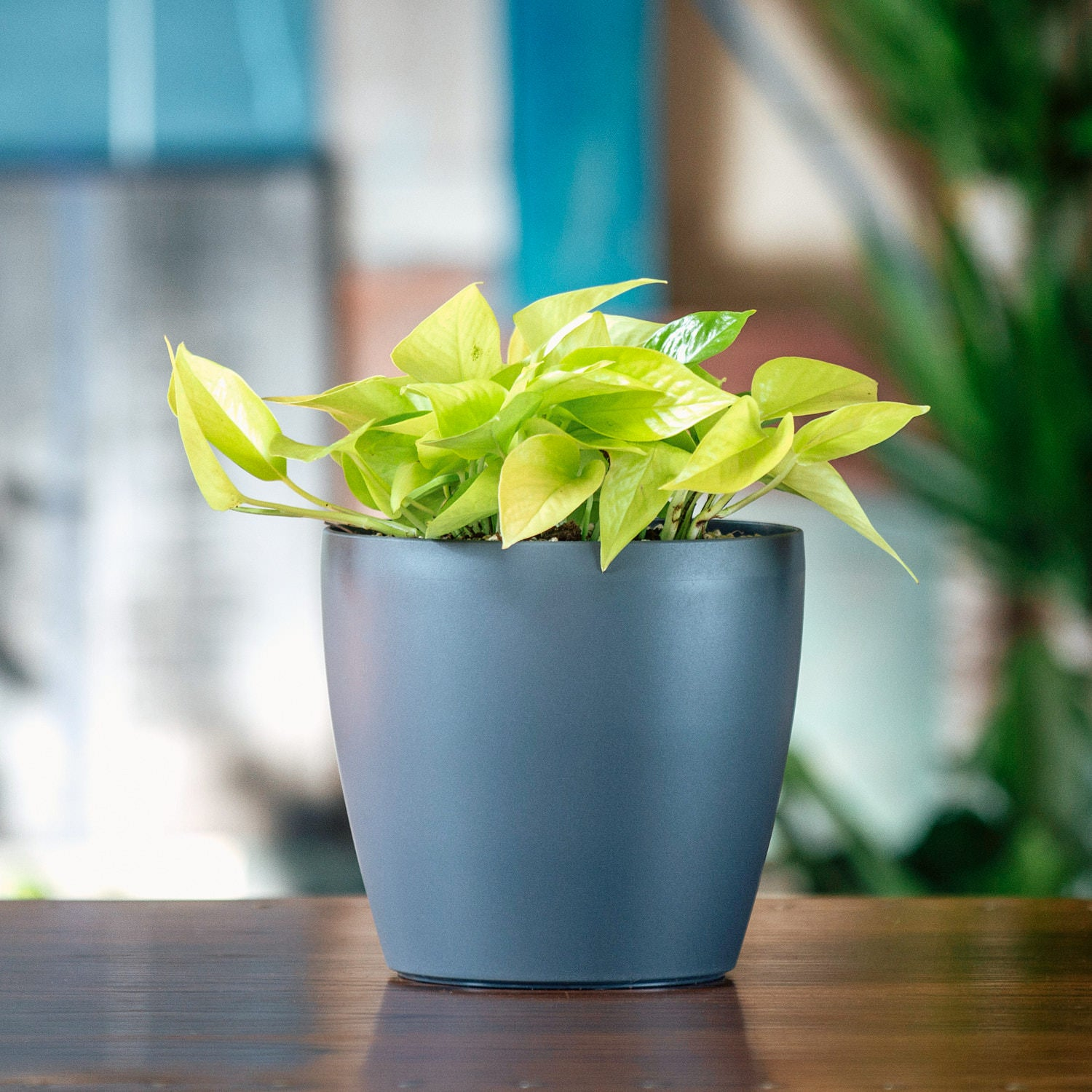 Pothos Neon In Classico Mini Trend Slate Planter | My City Plants