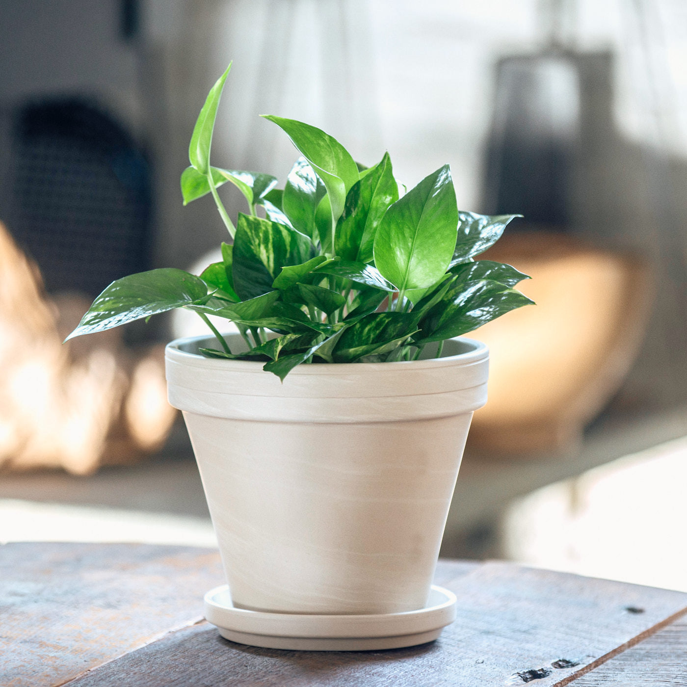 "Pothos Plant In 8"" Clay Pot 
