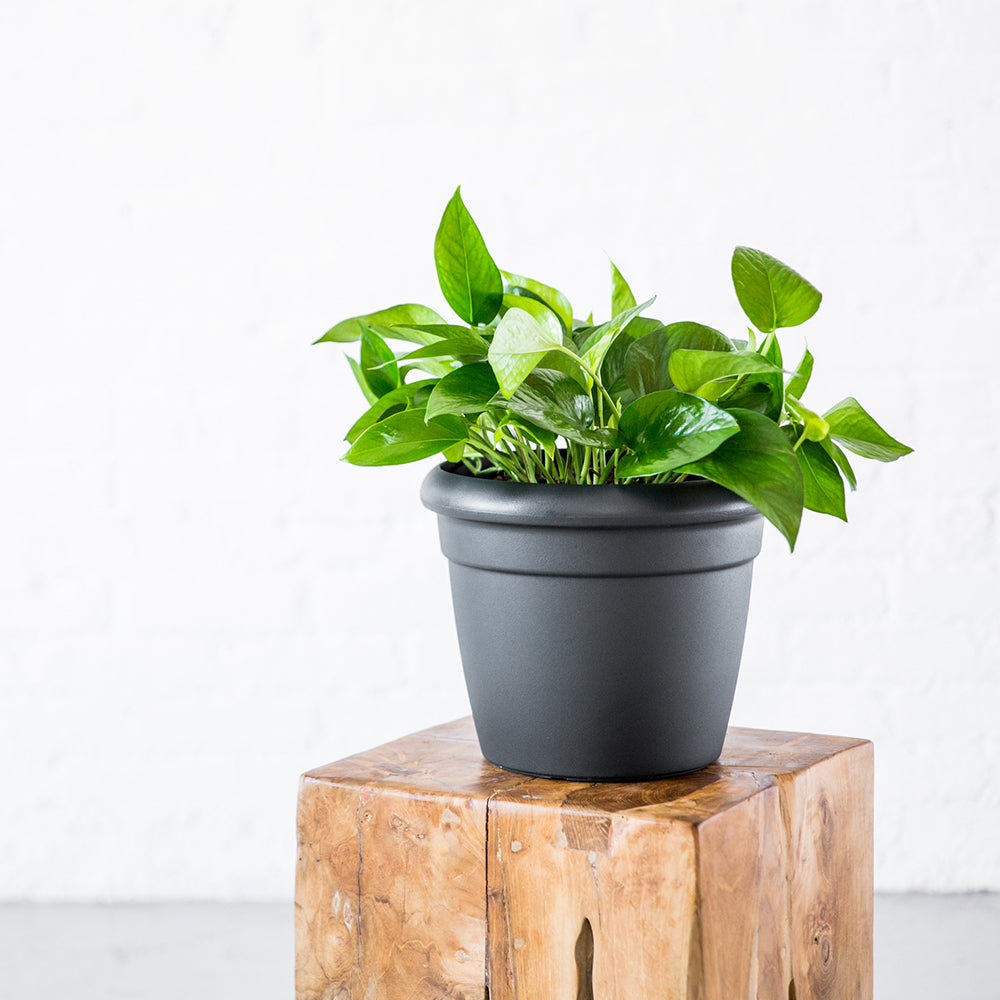 Pothos Plant Potted In Lechuza Rustico Mini Graphite Black Planter - Shop Online - My City Plants
