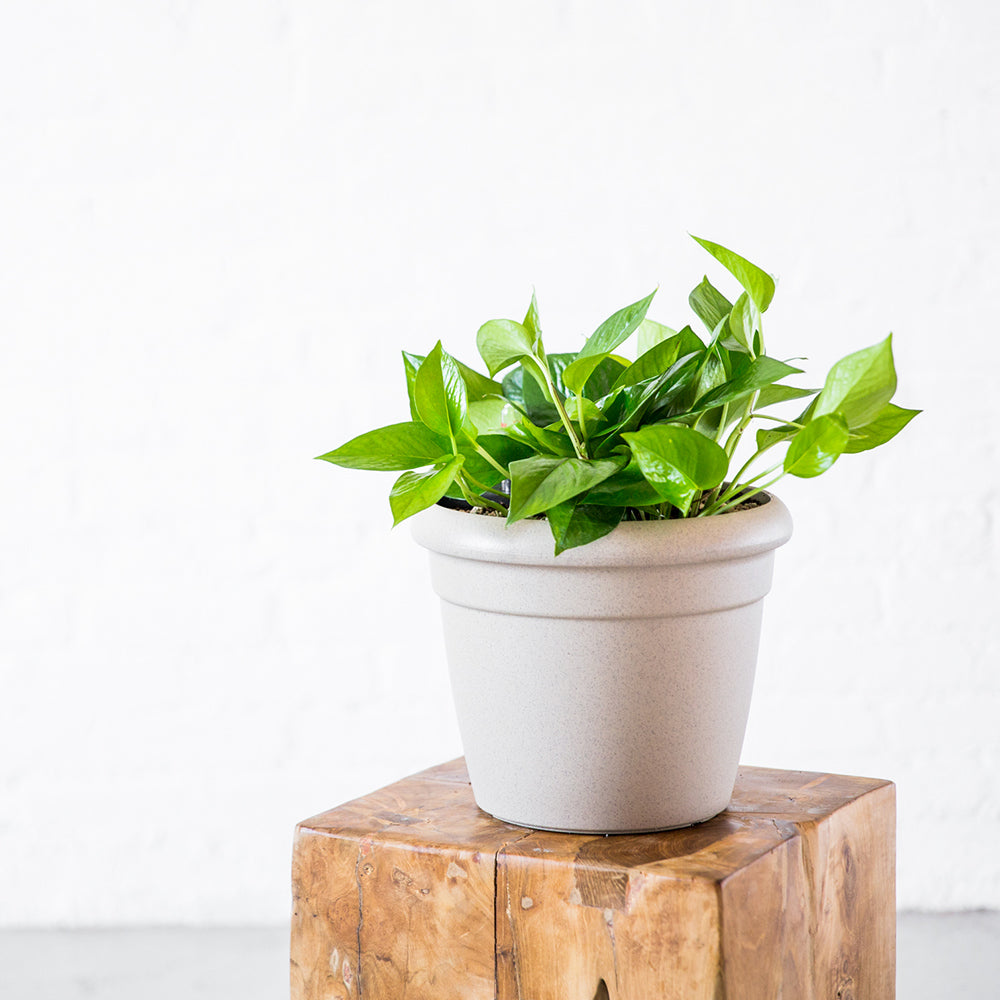 Pothos Plant Potted In Lechuza Rustico Mini Sand Beige Planter - Shop Online - My City Plants