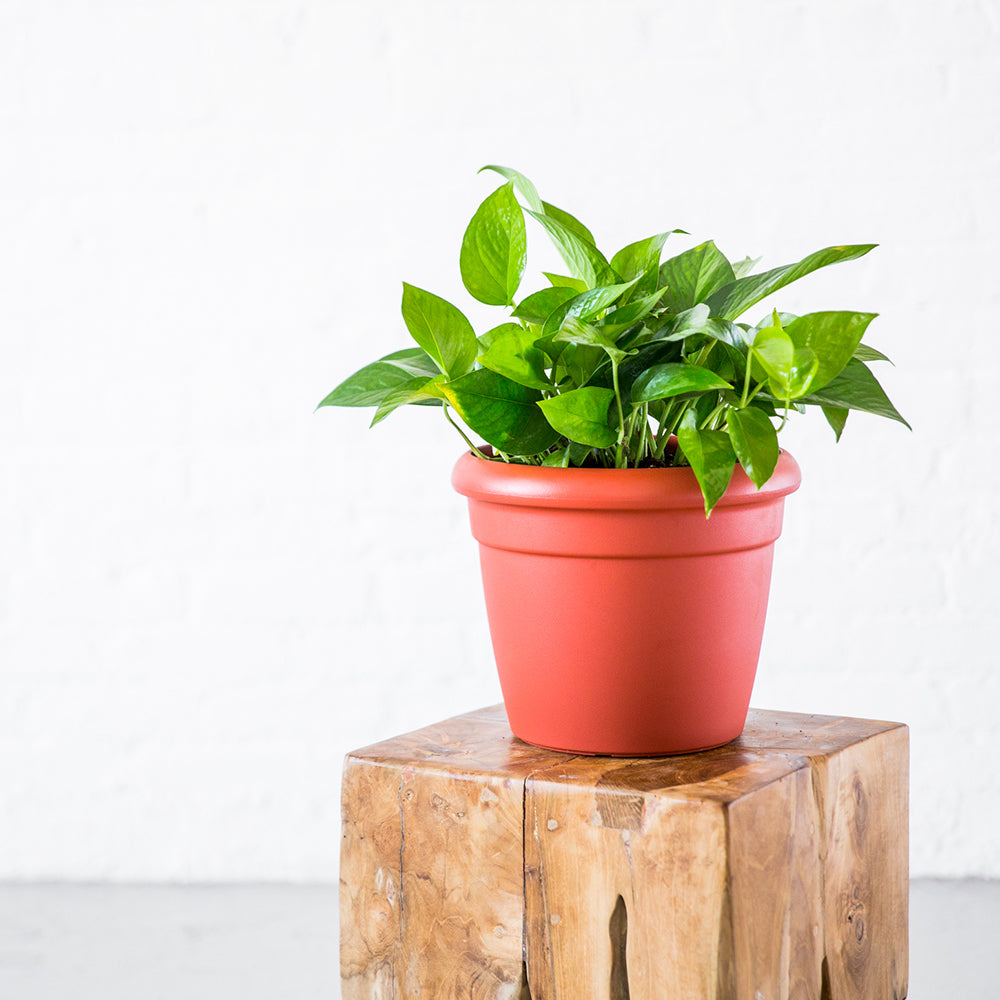 Pothos Rustico Mini Terracotta