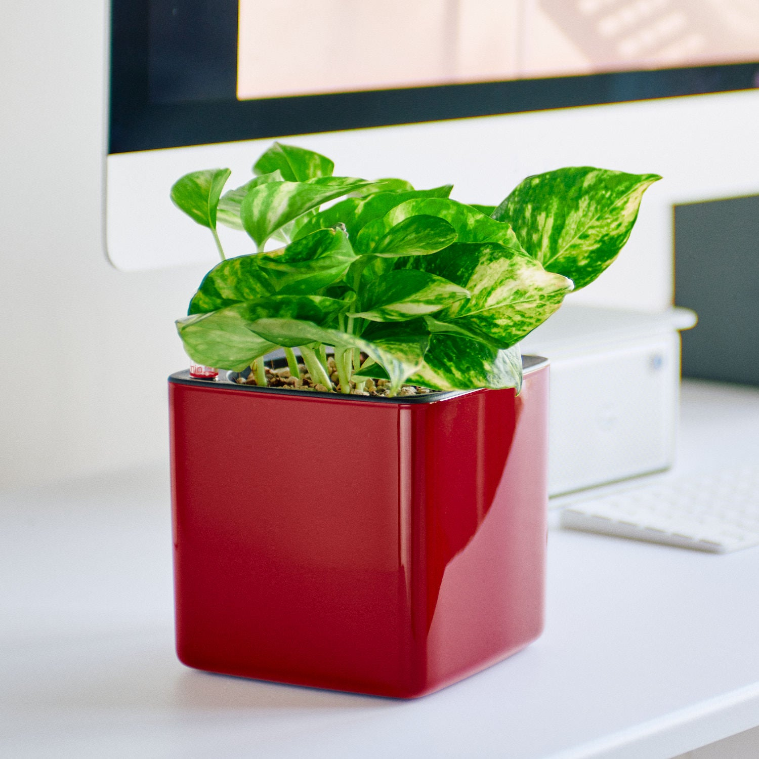 Pothos Variegated In Lechuza Cube Glossy Red Planter | My City Plants