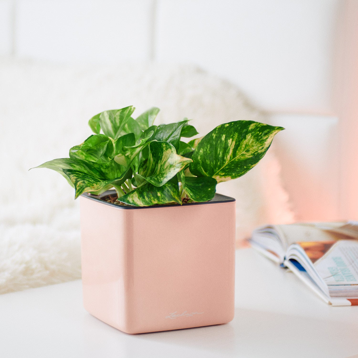 Pothos Variegated  In Lechuza Cube Cashmere Planter | My City Plants