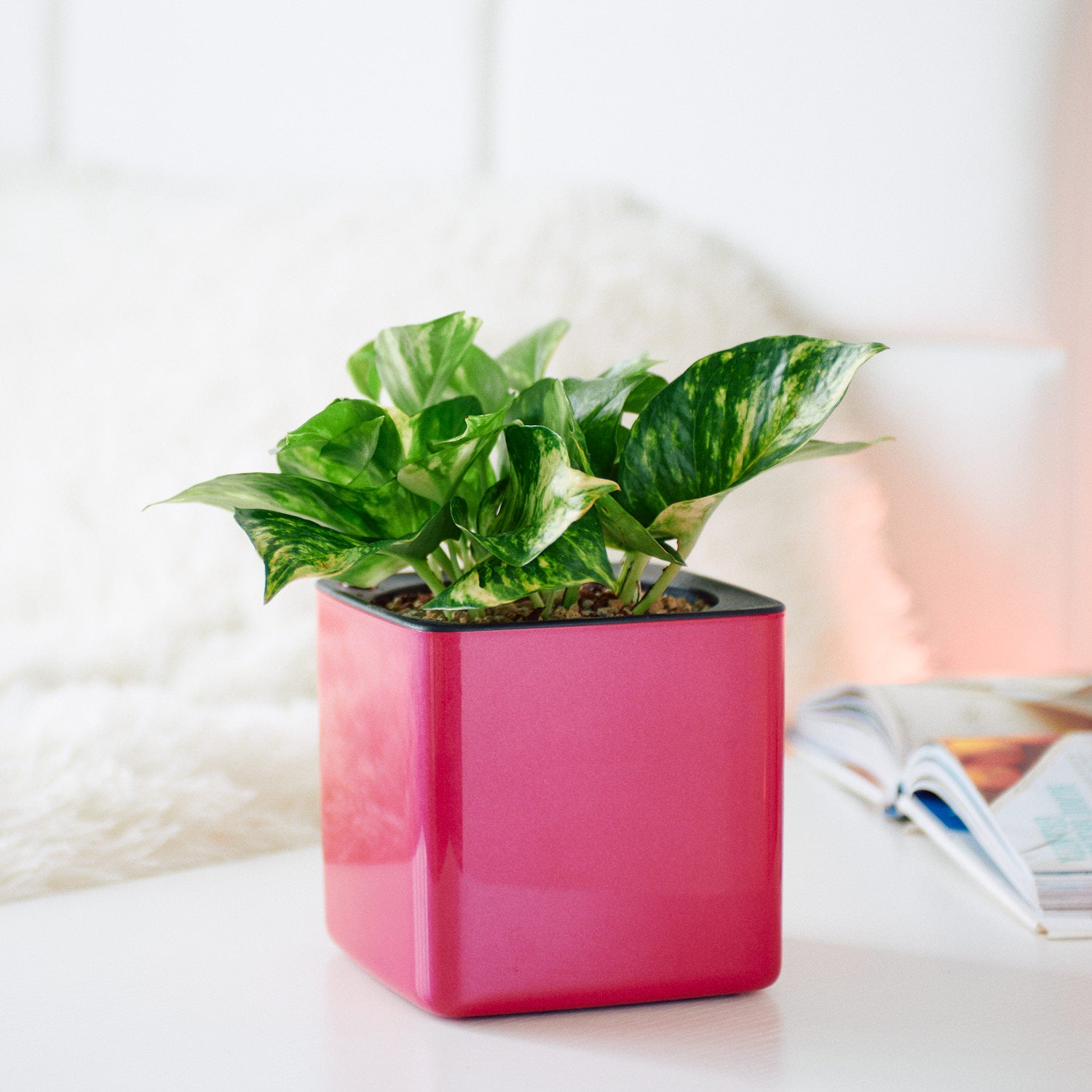 Pothos Variegated  In Lechuza Cube Cherry Pie Planter | My City Plants