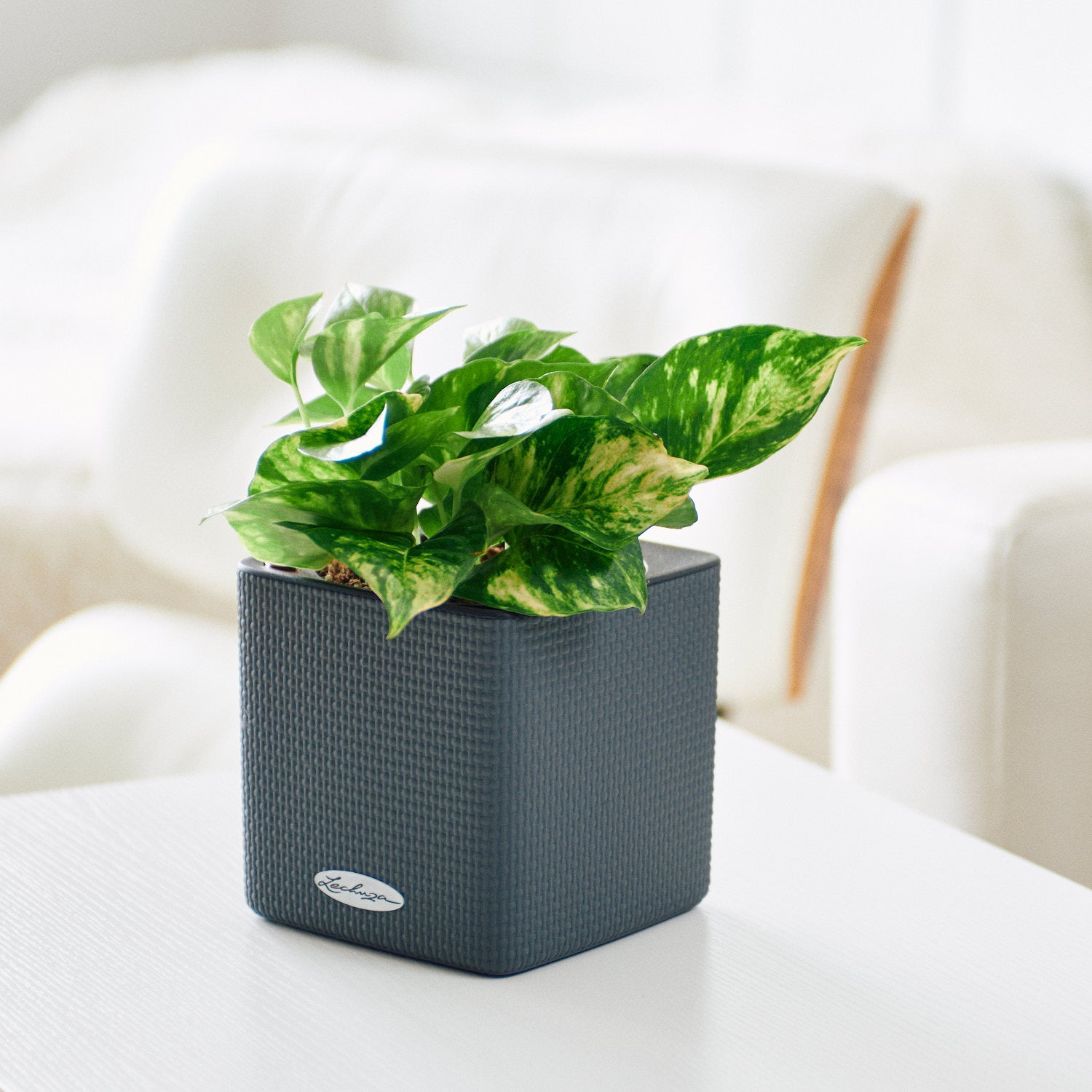 Pothos Variegated In Lechuza Cube 14 Slate Planter | My City Plants
