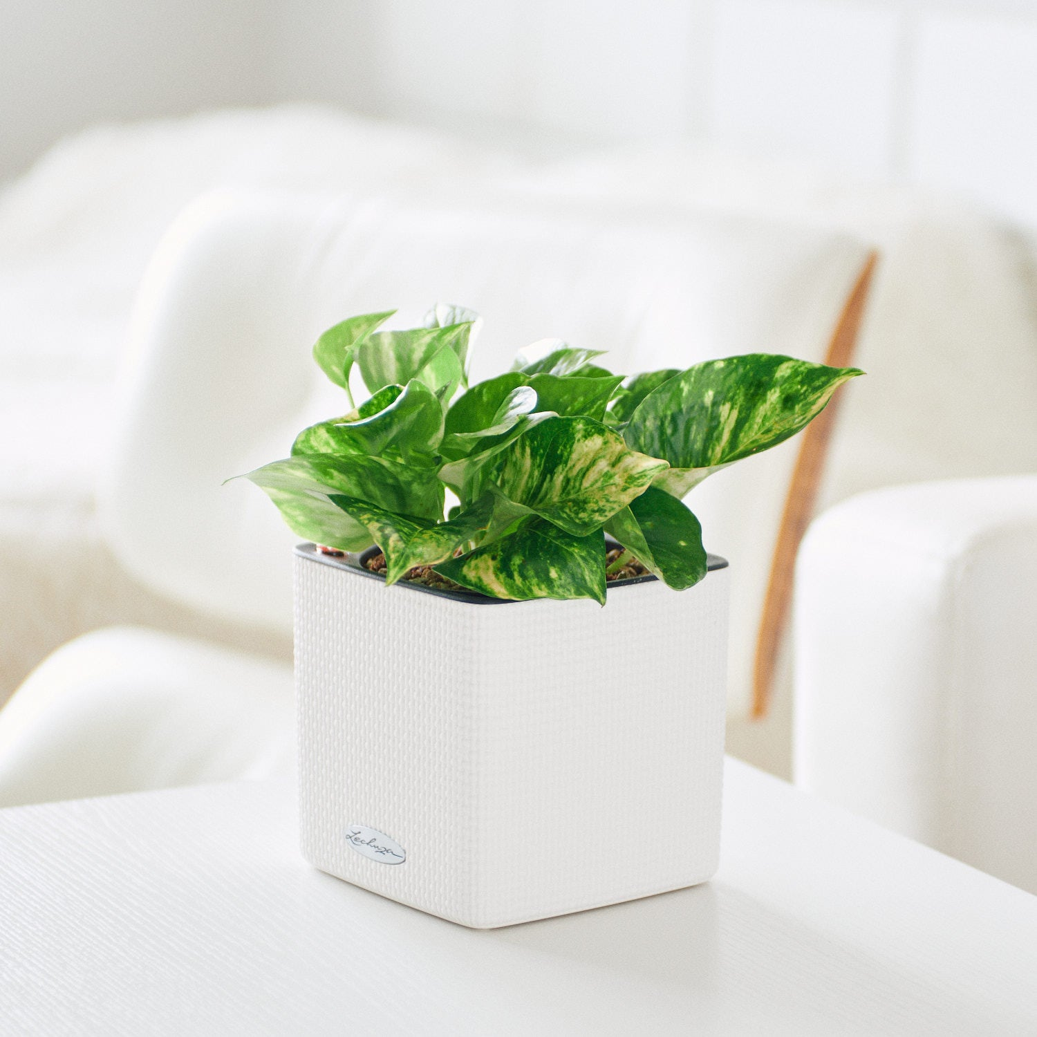Pothos Variegated  In Lechuza Cube 14 White Planter | My City Plants