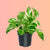 "Pothos Variegated In 4"" Nursery Pot 