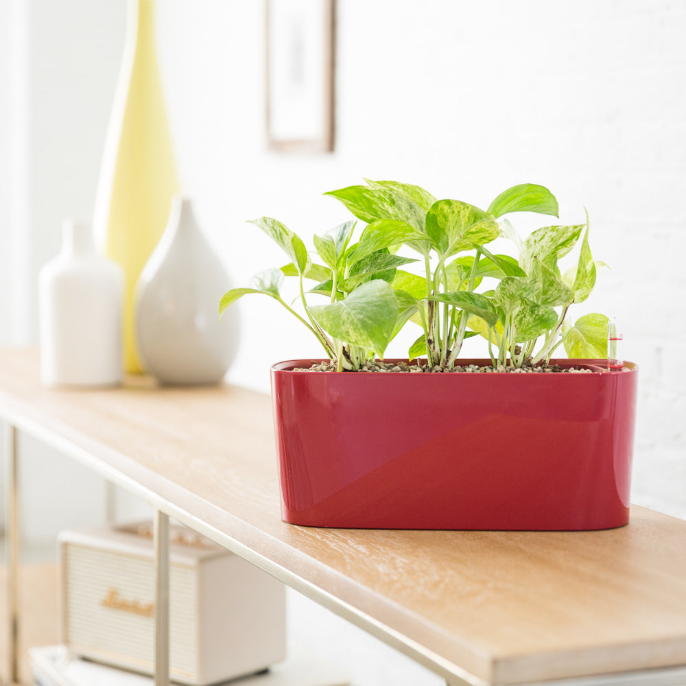 Pothos Plant Potted In Mini Windowsill Planter Red - Shop Online - My City Plants