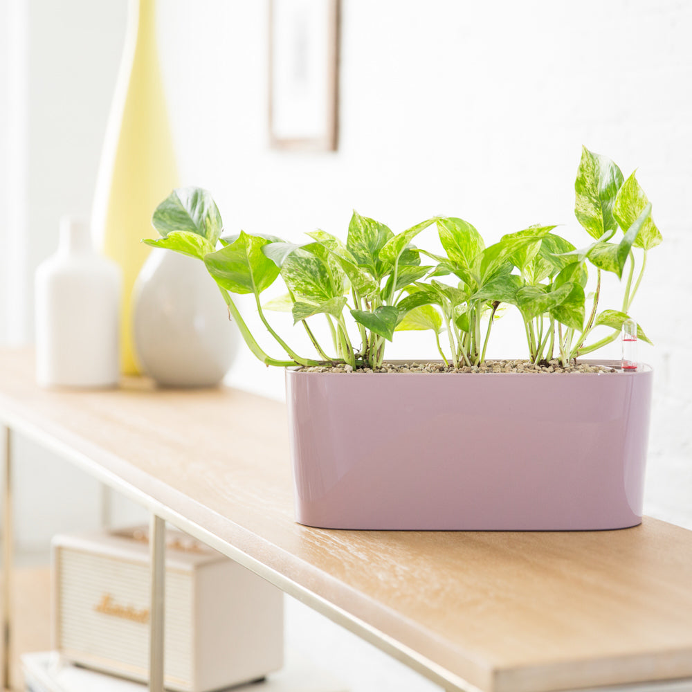 Pothos Plant Potted In Mini Windowsill Planter - Shop Online - My City Plants