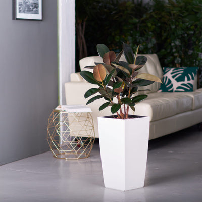 Rubber plant bush potted in Lechuza white Cubico planter - My City Plants