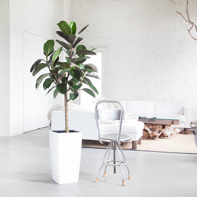 Rubber Tree Potted In Lechuza Self-watering Cubico White Planters - Shop Online - My City Plants