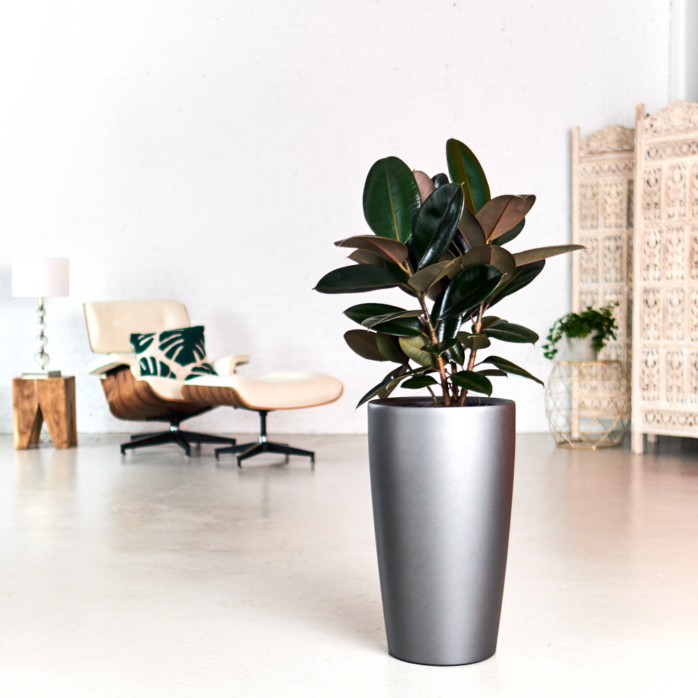 Rubber plant bush potted in Lechuza Rondo charcoal metallic planters - My City Plants