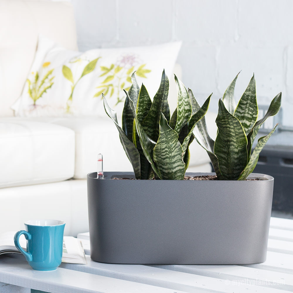 Sansevieria Windowsill Charcoal Metallic