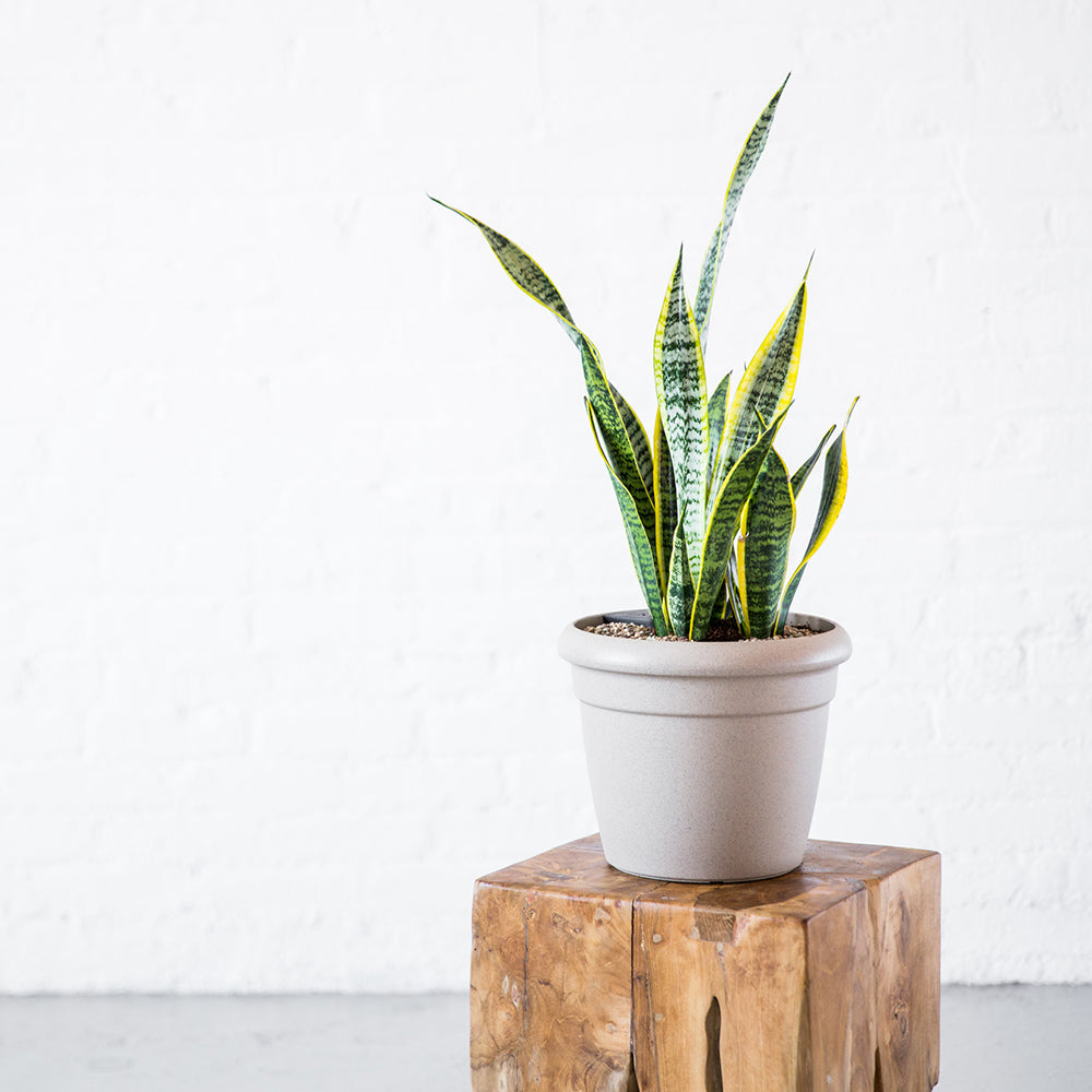 Sansevieria Potted In Lechuza Rustico Mini Sand Beige Planter - Shop Online - My City Plants
