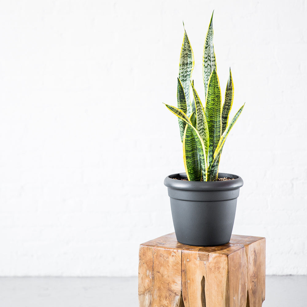 Sansevieria Potted In Lechuza Rustico Mini Graphite Black Planter - Shop Online - My City Plants