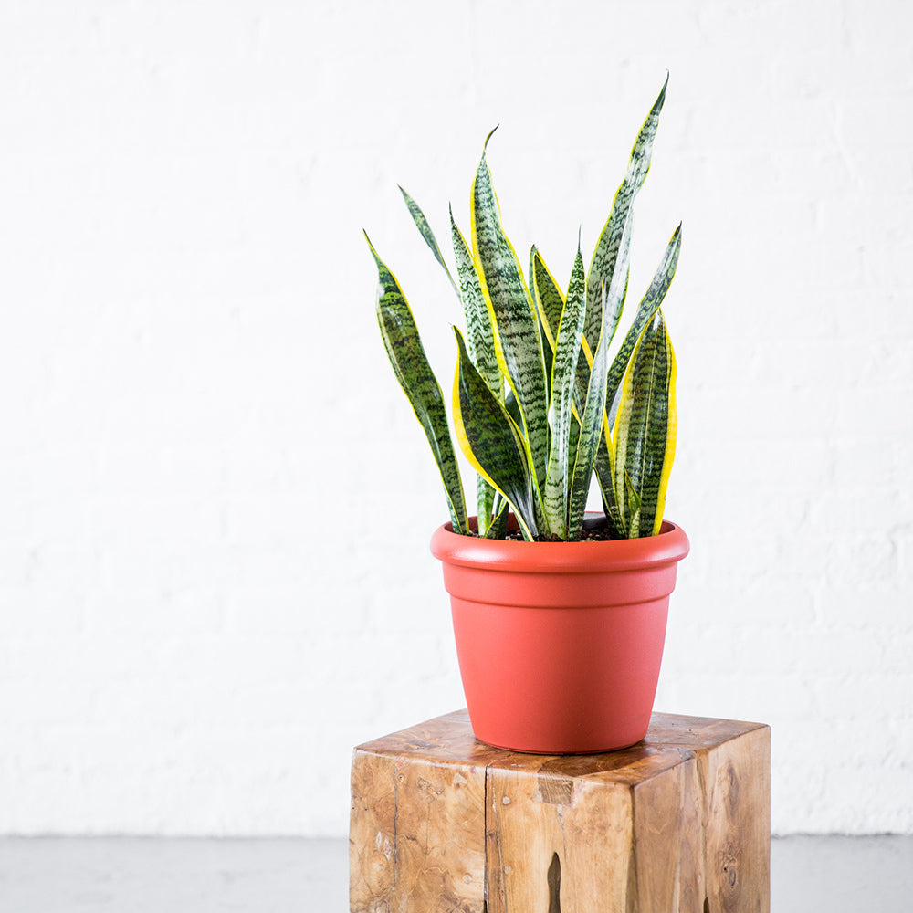 Sansevieria Potted In Lechuza Rustico Mini Terracotta Planter - Shop Online - My City Plants