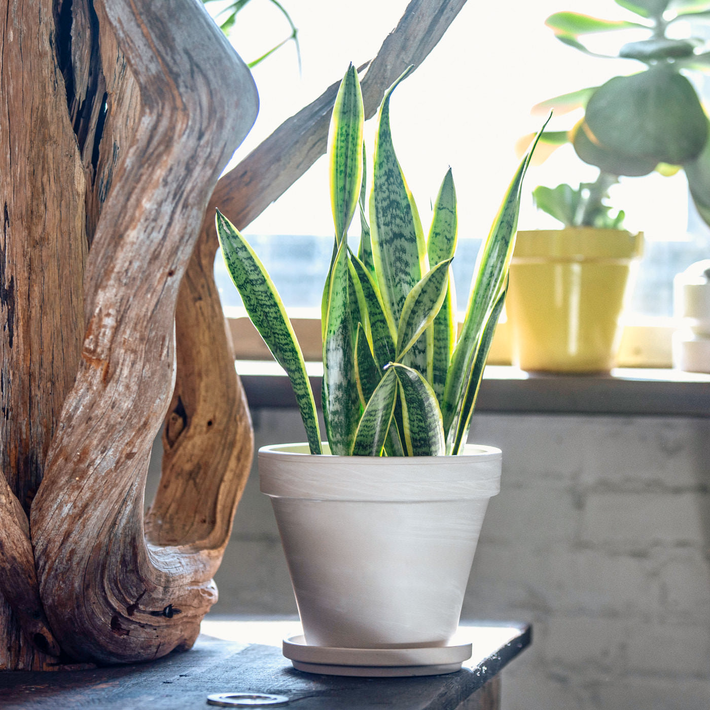 "Sansevieria In 8"" Clay Pot 