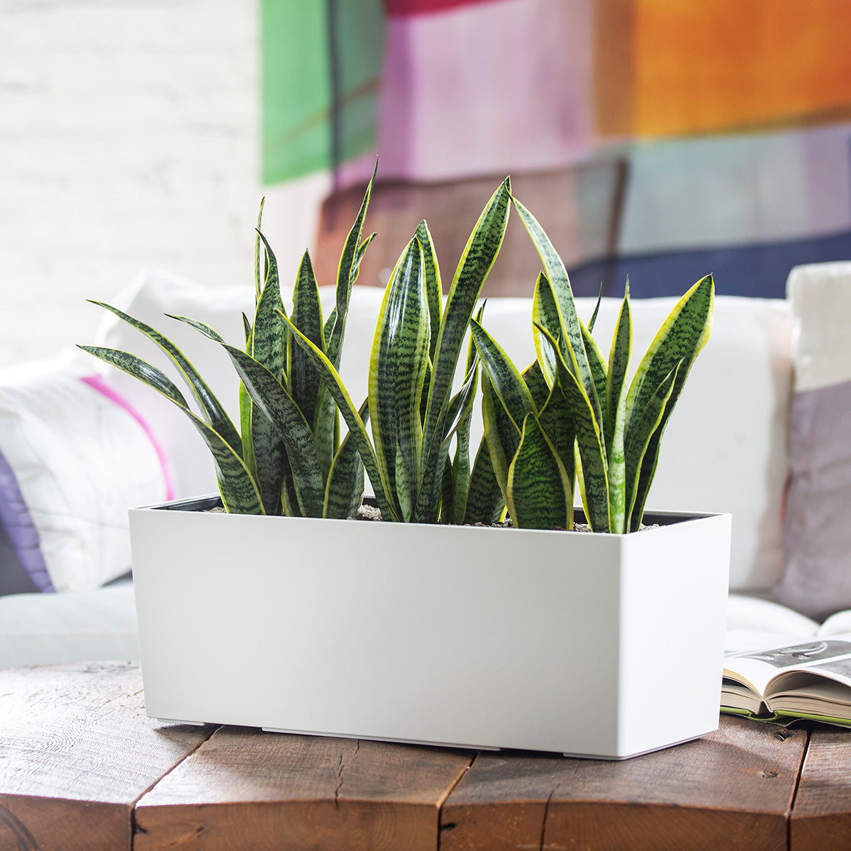 Snake plant potted in Lechuza Balconera white self-watering planter - My City Plants