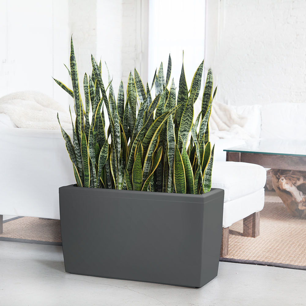 Sansevieria Plant Potted In Cararo Charcoal Planter - Shop Online - My City Plants