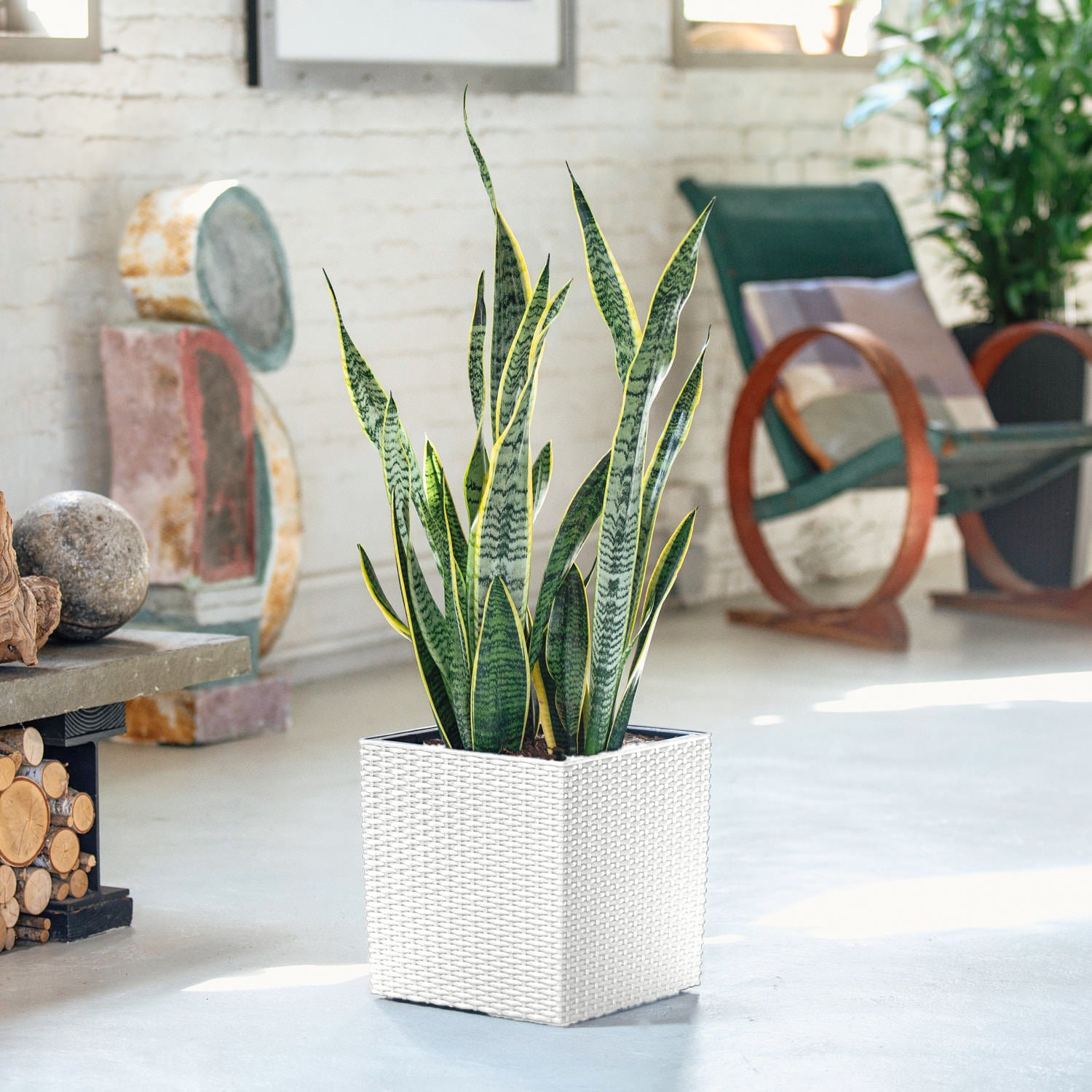 Sansevieria In Lechuza Cubico Cottage White Planter | My City Plants