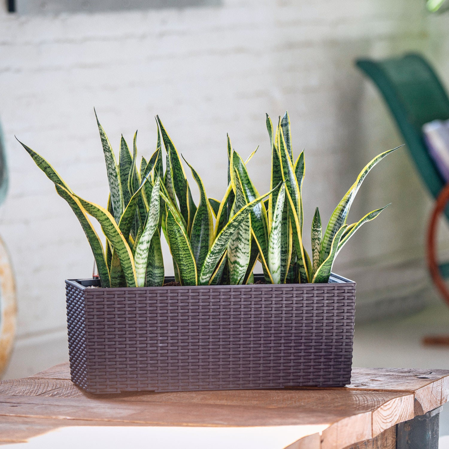 Snake plant potted in Lechuza Balconera Cottage mocha planter - My City Plants