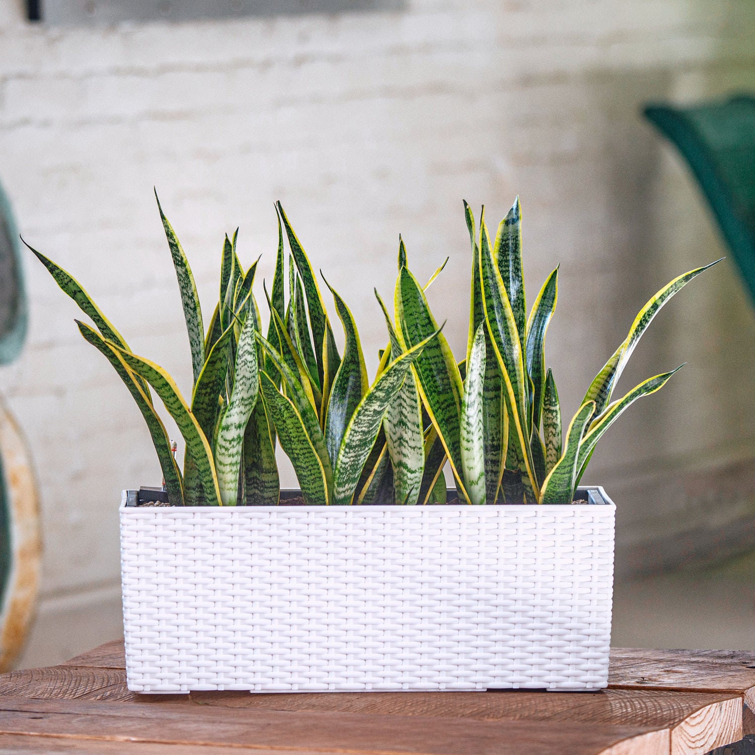 Snake plant potted in Lechuza Balconera Cottage white planter - My City Plants